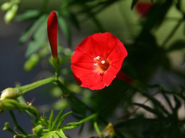 Rampicante fiori a campanella cos 39 ipomoea x sloteri - Fiori a campanella rossi ...